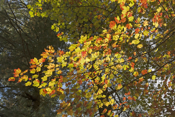 Stock photo: Changing Colors on a Maple Branch