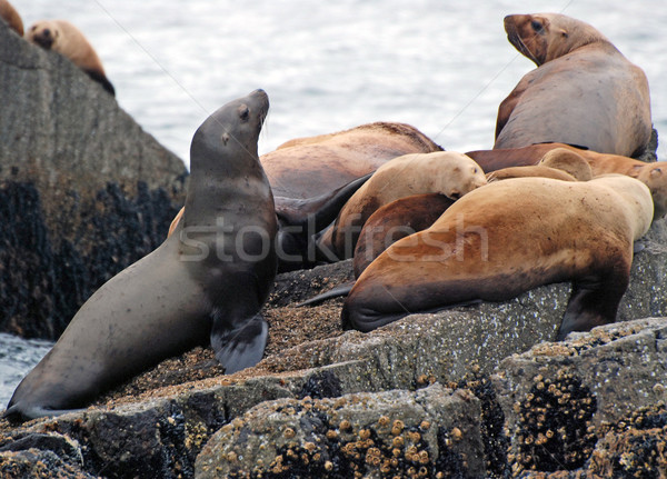 Sea lions on the coast of Alaska Stock photo © wildnerdpix