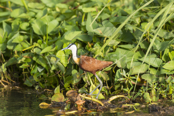 African Jacana in the Wetlands Stock photo © wildnerdpix