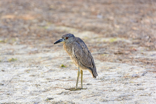 Juvenil remoto bastante naturales fauna fauna Foto stock © wildnerdpix