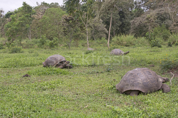 Galapagos Giant Tortoises in a Field Stock photo © wildnerdpix