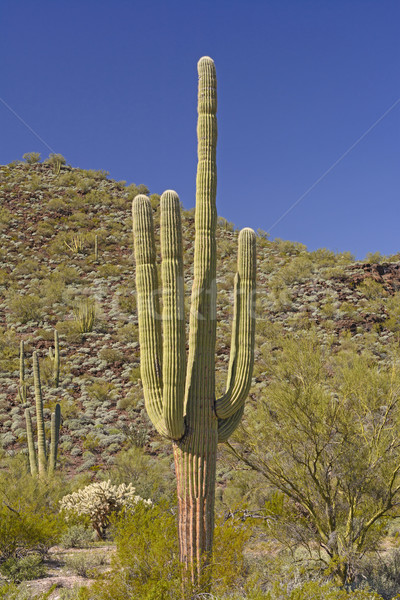Saguaro Cactus in the Desert Mountains Stock photo © wildnerdpix