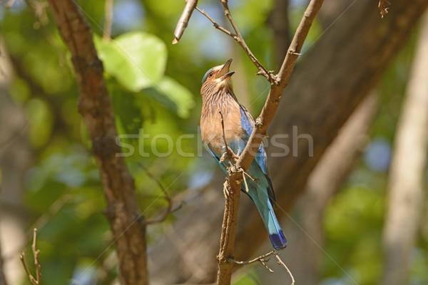 Indian albero parco India uccello animale Foto d'archivio © wildnerdpix