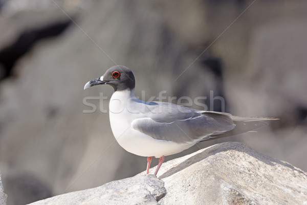 Swallow-Tailed Gull on a Rock Stock photo © wildnerdpix