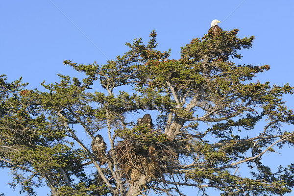 Bald Eagle Nesting Tree with Mother and Two Fledglings Stock photo © wildnerdpix