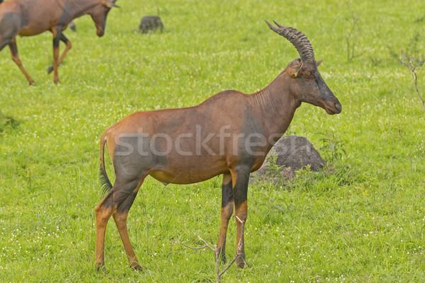 саванна озеро Африка животного биологии довольно Сток-фото © wildnerdpix