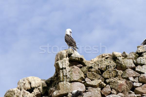 Seabird preening on a coastal rock Stock photo © wildnerdpix