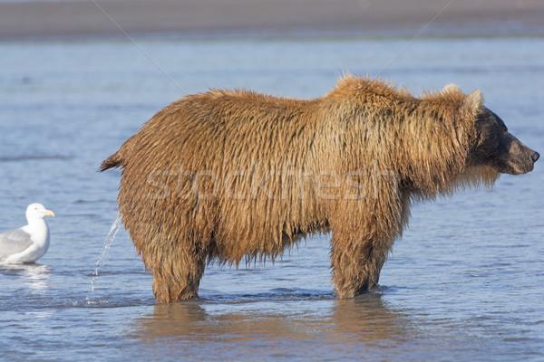 Female Bear Peeing in the Estuary Stock photo © wildnerdpix