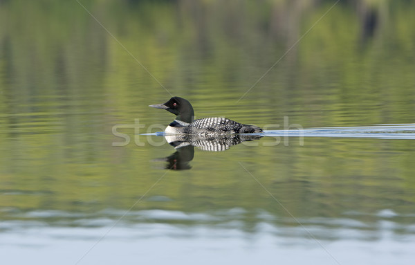 Loon with Reflections on a Calm Lake Stock photo © wildnerdpix