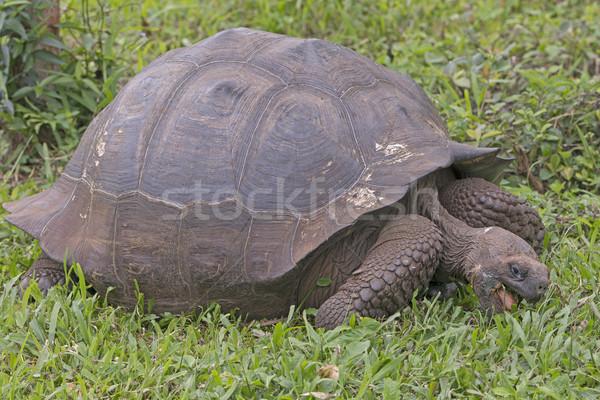 Teknősbéka eszik ültetvény mikulás sziget állat Stock fotó © wildnerdpix