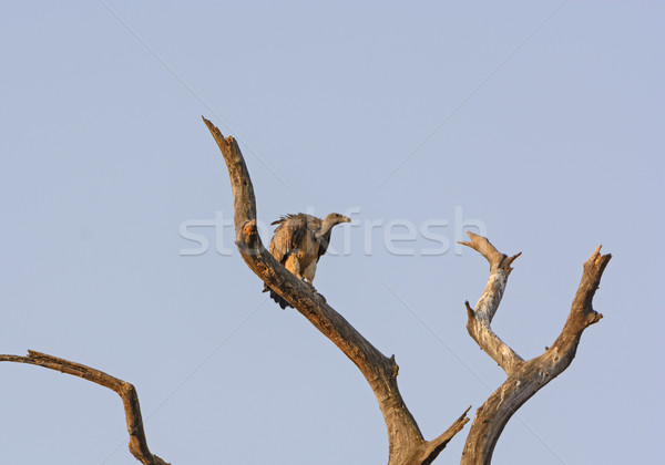 Indian Vulture in a Tree Stock photo © wildnerdpix