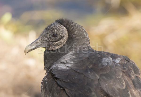 черный гриф мнение птица животного Сток-фото © wildnerdpix