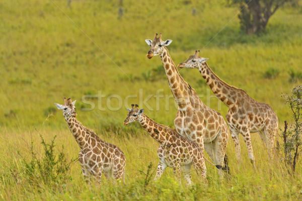 жираф семьи парка Уганда Африка удаленных Сток-фото © wildnerdpix