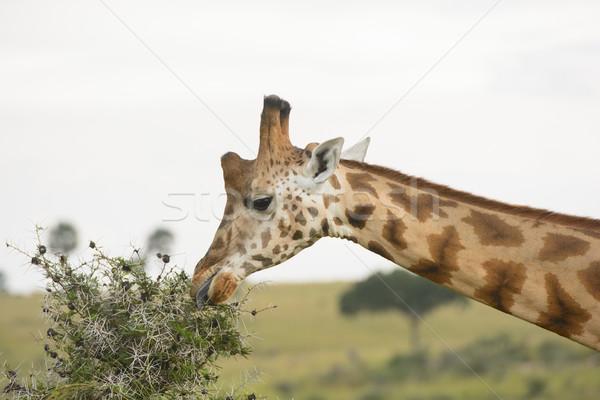 Zsiráf eszik fa park Uganda Afrika Stock fotó © wildnerdpix