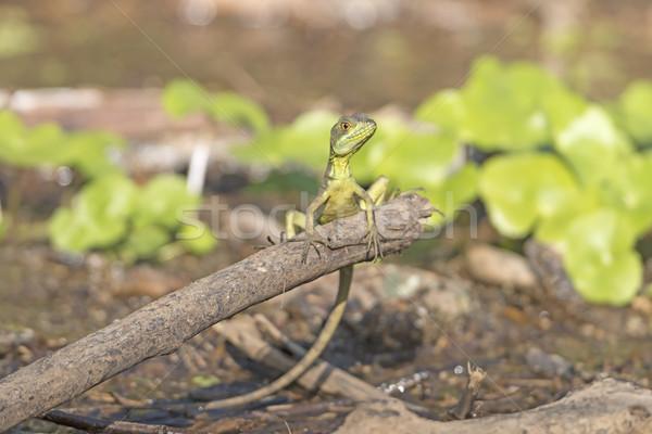Femminile smeraldo parco natura animale lucertola Foto d'archivio © wildnerdpix
