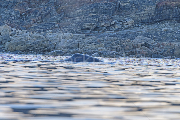 Bowhead Whale Surfacing Close to Shore Stock photo © wildnerdpix