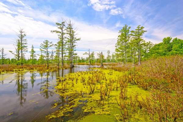 Cypress swamp on a Sunny Day Stock photo © wildnerdpix