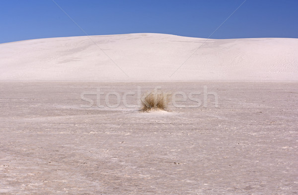 Isolated Grasses in a Desert Stock photo © wildnerdpix
