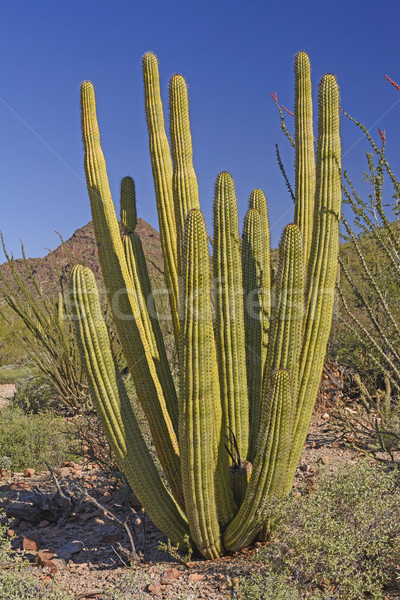 Organ Pipe Cactus in the Desert Stock photo © wildnerdpix