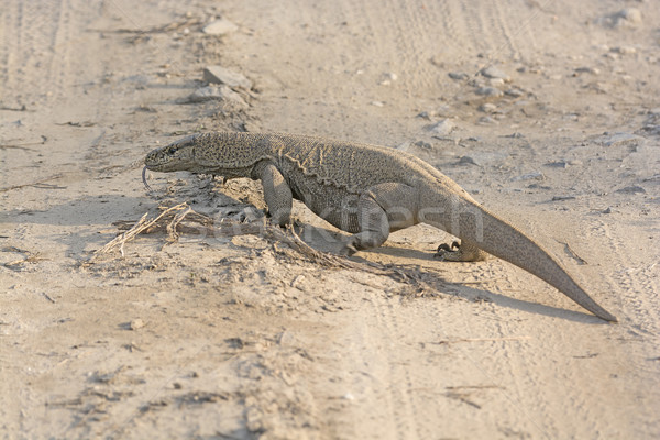 Bengal Monitor Crossing a Jungle Road Stock photo © wildnerdpix