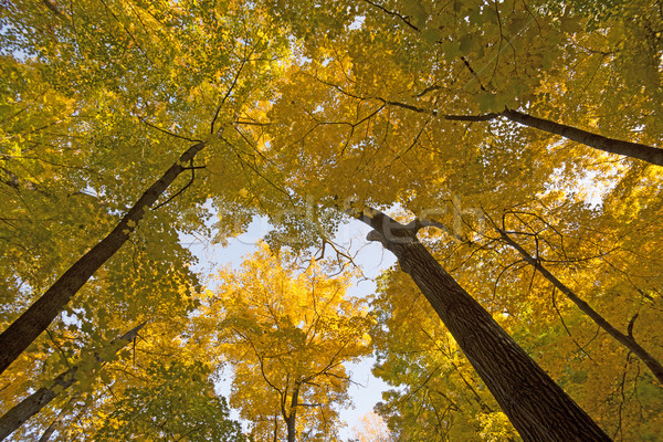 Looking up into a Yellow Canopy Stock photo © wildnerdpix