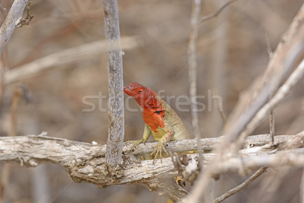 Female Lava Lizard Stock photo © wildnerdpix