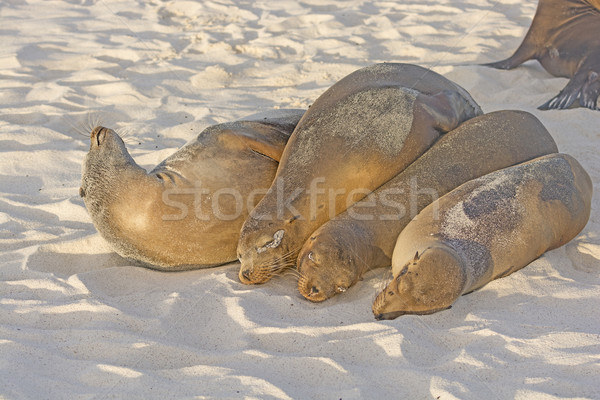 Sea Lion Friends Forever Stock photo © wildnerdpix
