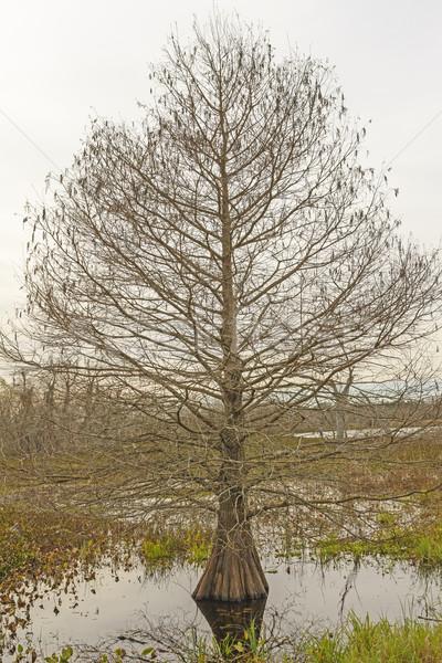 サイプレス ツリー 冬 日 公園 ストックフォト © wildnerdpix