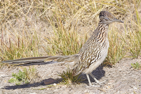 Road Runner in the Desert Stock photo © wildnerdpix