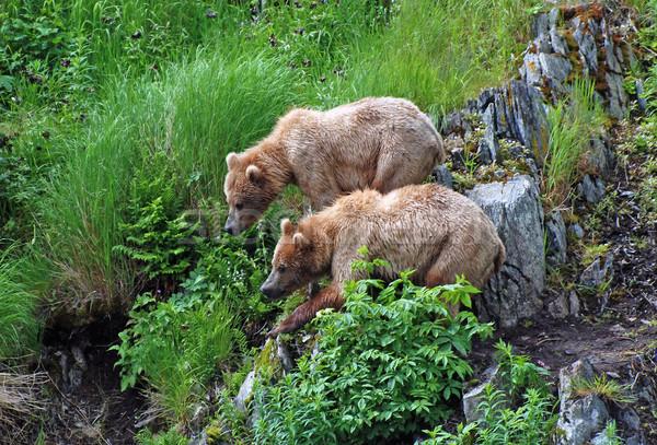 Brother Bears stick together Stock photo © wildnerdpix