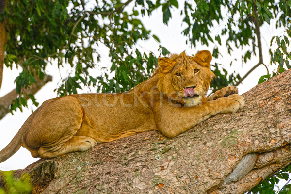 Stock photo: Young Male Lion in a Tree