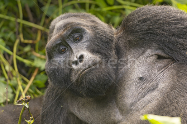 Close-up of a Silverback Mountain Gorilla Stock photo © wildnerdpix