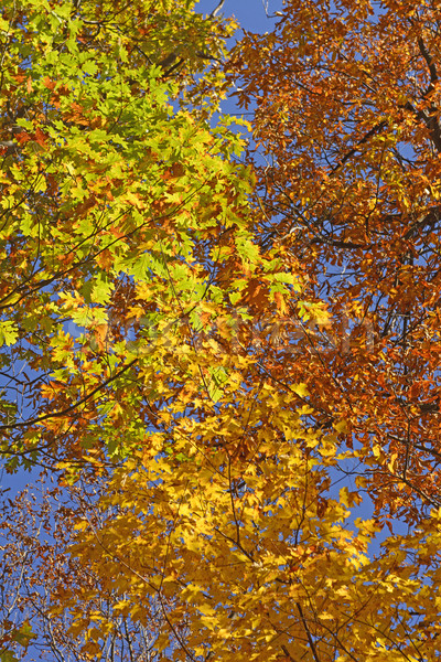 émeute couleurs automne parc Virginie nature Photo stock © wildnerdpix
