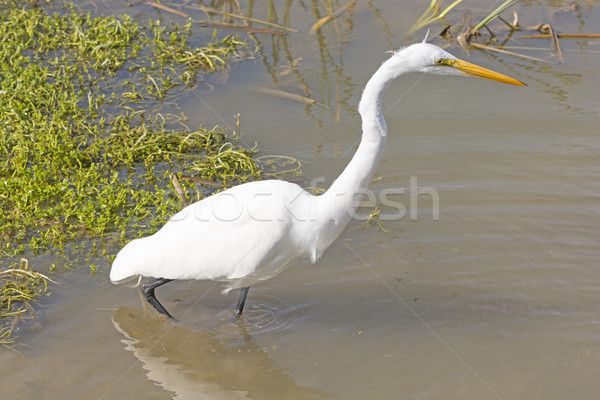 Great Egret on the Hunt Stock photo © wildnerdpix