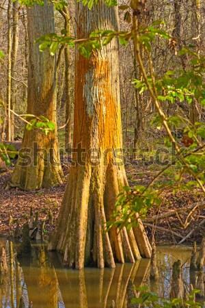 Trunk from a fallen Forest Giant Stock photo © wildnerdpix