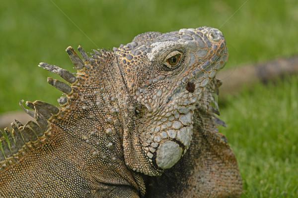 Głowie shot zielone iguana Zdjęcia stock © wildnerdpix