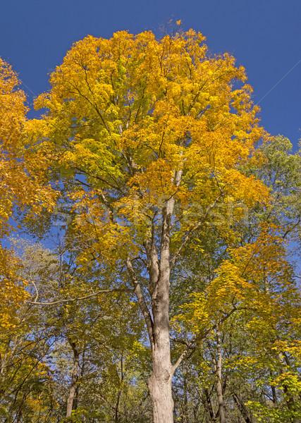 Drámai ősz park Iowa ősz citromsárga Stock fotó © wildnerdpix