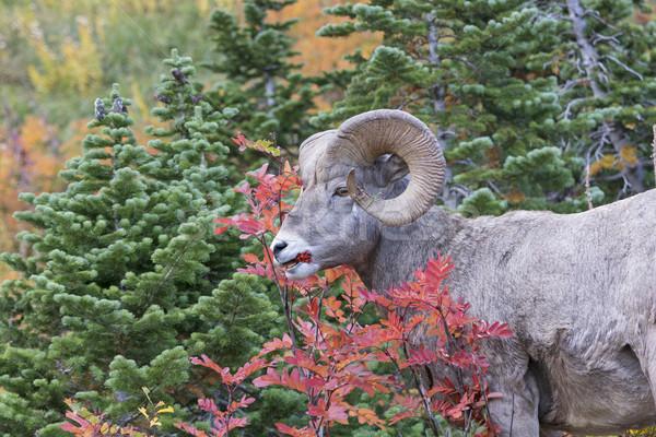 Bighorn Sheep Eating Berries in the Fall Stock photo © wildnerdpix