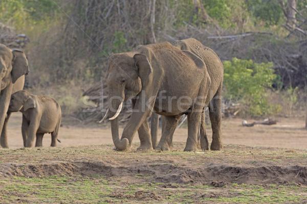 Férfi indiai elefánt folyó bank park Stock fotó © wildnerdpix