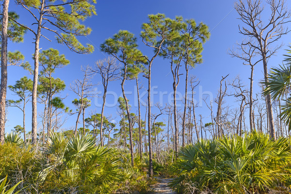 Trail through Slash pines in the Tropics Stock photo © wildnerdpix