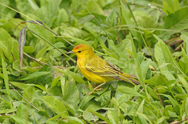 Yellow Warbler in the Grass Stock photo © wildnerdpix