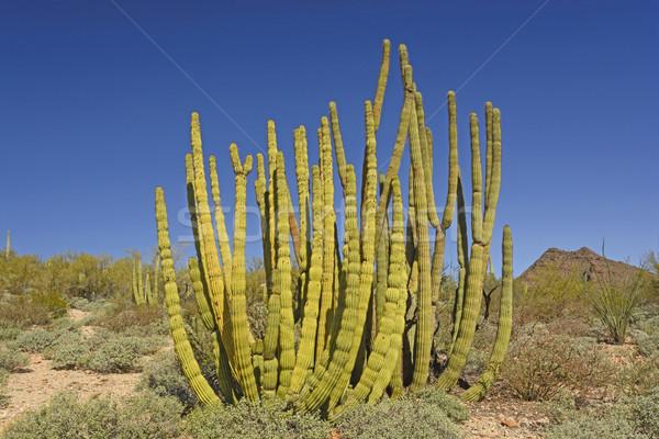 Organ Pipe Cactus in the Desert Stock photo © wildnerdpix