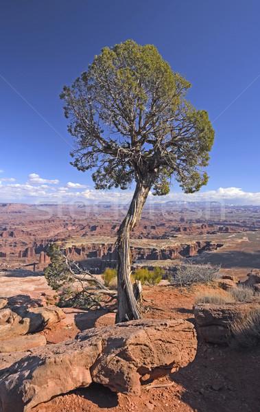 дерево каньон парка Юта Сток-фото © wildnerdpix