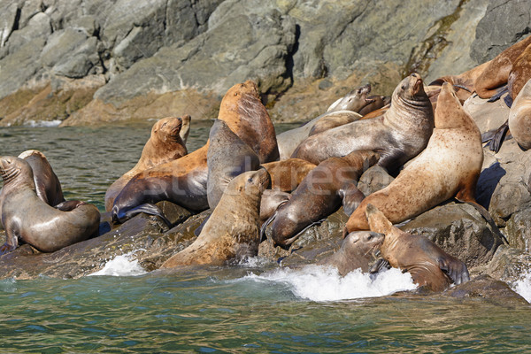 Stellar Sea Lions Crowding on a Rock Stock photo © wildnerdpix