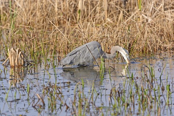 Great Blue Heron Searching for Prey Stock photo © wildnerdpix