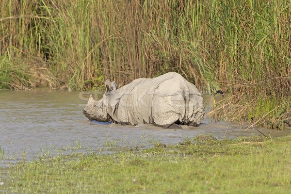 Indian Rhino Heading into the River Stock photo © wildnerdpix