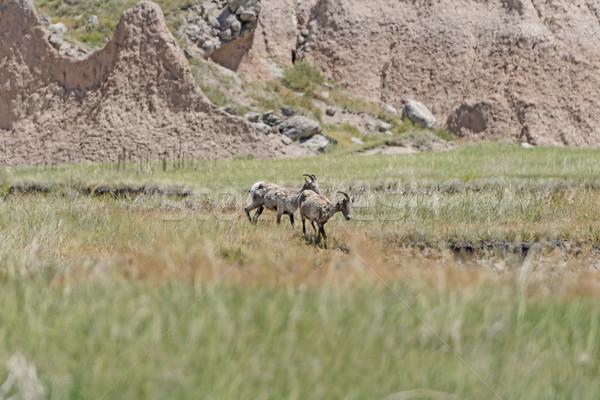 Pecore parco Dakota del Sud animali biologia turismo Foto d'archivio © wildnerdpix