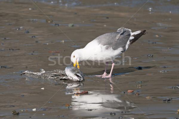 Сток-фото: еды · мертвых · рыбы · пляж · птица · животного