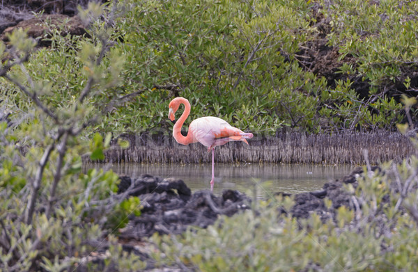 Flamingo Resting in a Secluded Coastal Lagoon Stock photo © wildnerdpix