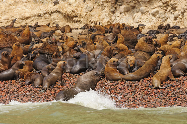 Sea Lion Colony ona remote Island Stock photo © wildnerdpix